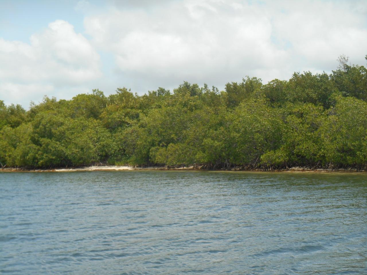mangrove-cap-chevalier.jpg
